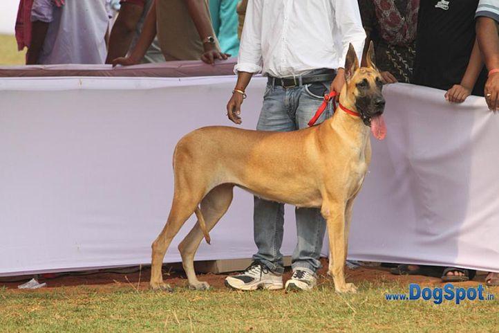 great dane,sw-10,, Orissa Kennel Club 2010, DogSpot.in