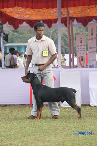 ex-90,rotts,sw-10,, OZZY, Rottweiler, DogSpot.in