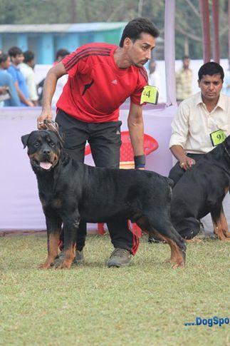 ex-94,rotts,sw-10,, SAHIBA OF SHAKSHI, Rottweiler, DogSpot.in