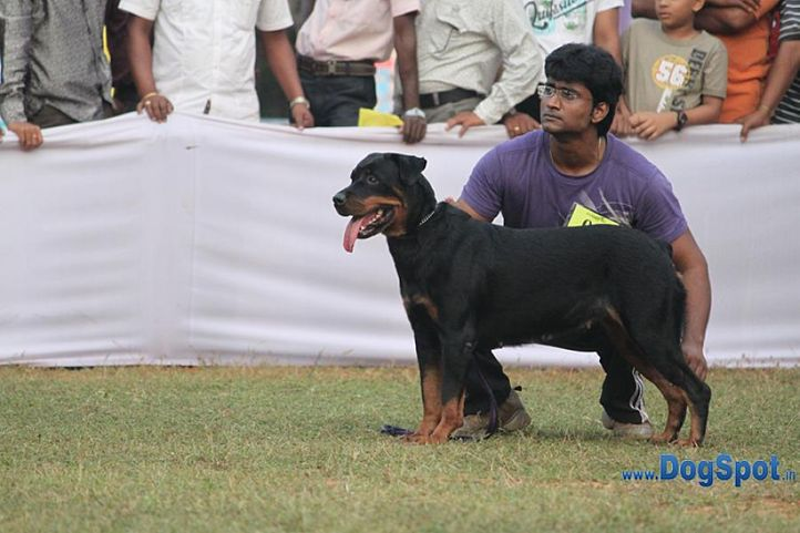 ex-96,rotts,sw-10,, TANIA, Rottweiler, DogSpot.in