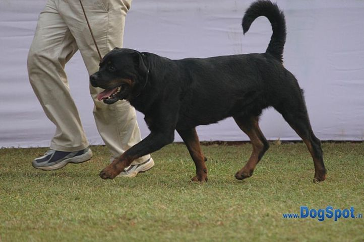 ex-98,rotts,sw-10,, TORO VON KELEMEN, Rottweiler, DogSpot.in