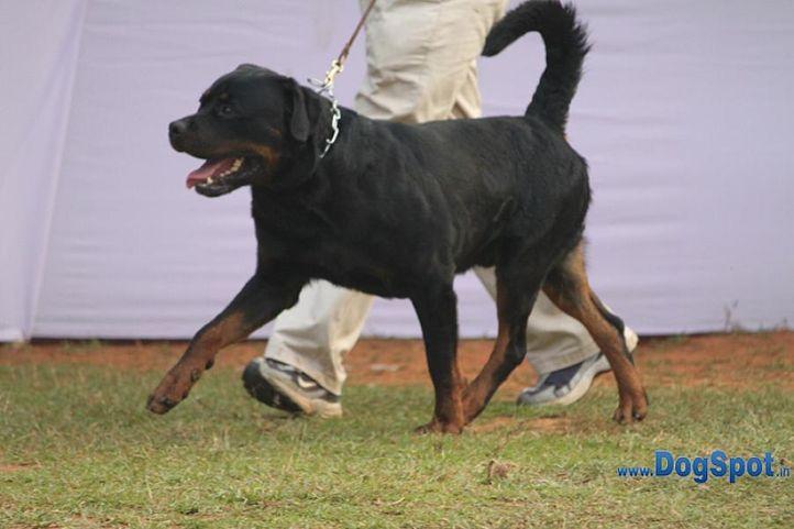 rotts,sw-10,, Orissa Kennel Club 2010, DogSpot.in