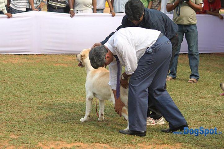 judging,labrador,sw-10,, Orissa Kennel Club 2010, DogSpot.in