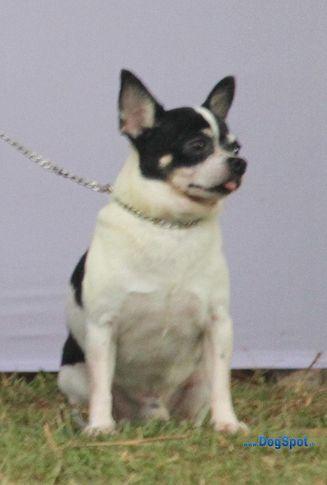 chihuahua,ex-1,sw-10,, LAMAI'S HARMONY, Chihuahua (Smooth Coat), DogSpot.in