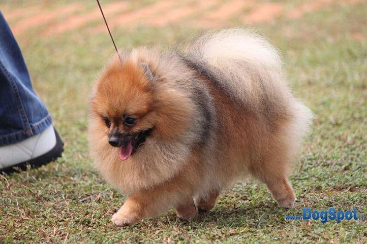 ex-7,pom,sw-10,, LOGAN'S DREAM OF CALEB, Pomeranian, DogSpot.in