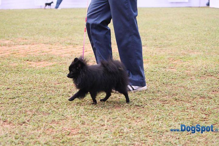 ex-8,pom,sw-10,, LISSA, Pomeranian, DogSpot.in
