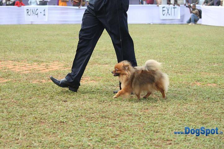 pom,sw-10,, Orissa Kennel Club 2010, DogSpot.in