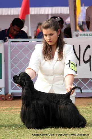 cocker spaniel- american,ex-71,sw-139,, INTL.CH.GR.CH.CAN-CH.CZCH.BIS. BISS. ROMEO BLACK CHARMING LINE, Cocker Spaniel- American, DogSpot.in