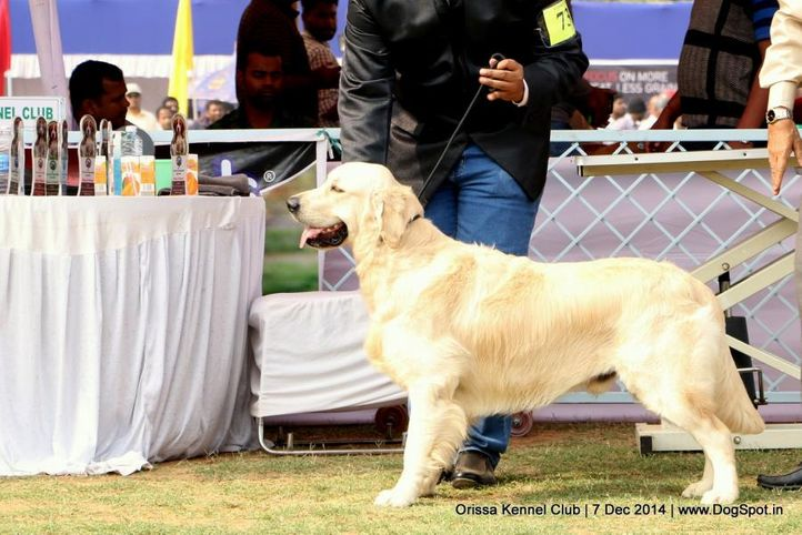 ex-73,golden retriever,sw-139,, BESSIE'S HUMAS, Golden Retriever, DogSpot.in