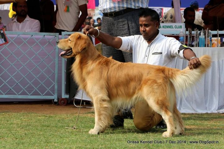ex-78,golden retriever,sw-139,, SNYDER S INDIANA JONES, Golden Retriever, DogSpot.in