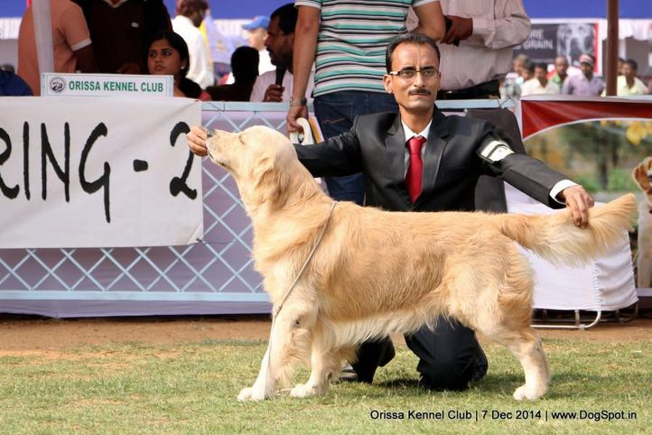 ex-84,golden retriever,sw-139,, AVANZAR'S CAME TO WIN, Golden Retriever, DogSpot.in