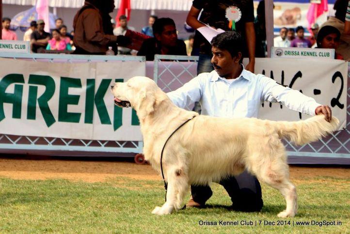 golden retriever,sw-139,, Orissa Kennel Club - 7 Dec 2014, DogSpot.in