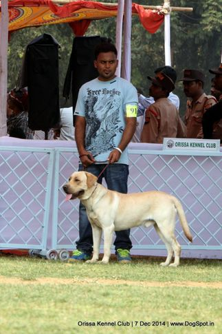 labrador retriever,sw-139,, Orissa Kennel Club - 7 Dec 2014, DogSpot.in