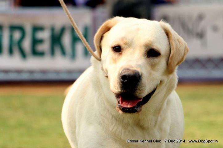 labrador retriever,sw-139,, Orissa Kennel Club - 7 Dec 2014, DogSpot.in
