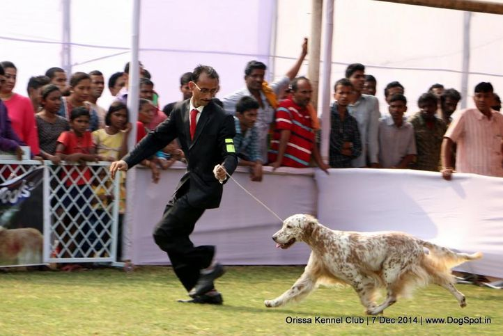 english setter,ex-72,sw-139,, AM.GCH.CH.WYNDSWEPT S STAGEDOOR RAVE REVIEWS, English Setter, DogSpot.in