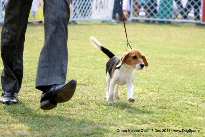 beagle,ex-41,sw-139,, BUNGLE WOOD'S BABY DOLL, Beagle, DogSpot.in