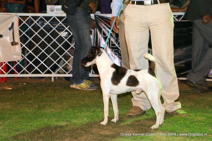 ex-20,fox terrier,sw-139,, CH. MASTAN, Fox Terrier Smooth, DogSpot.in