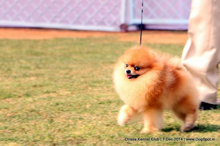 ex-6,pom,sw-139,, HECTOR'S RAIN FOR FUN, Pomeranian, DogSpot.in