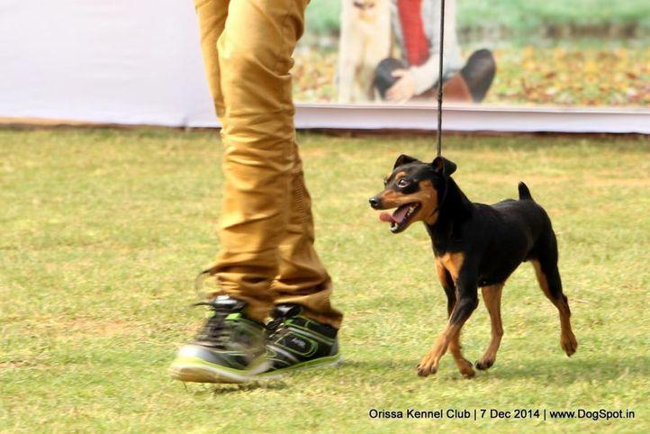 miniature pinscher,sw-139,, Orissa Kennel Club - 7 Dec 2014, DogSpot.in