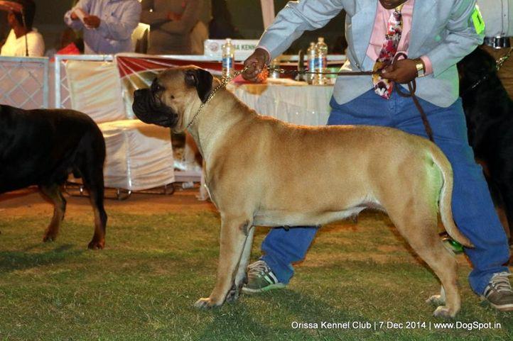 bull mastiff,ex-121,sw-139,, BULMASRANGER JUST GIVE ME A REASON - VENESA, Bullmastiff, DogSpot.in