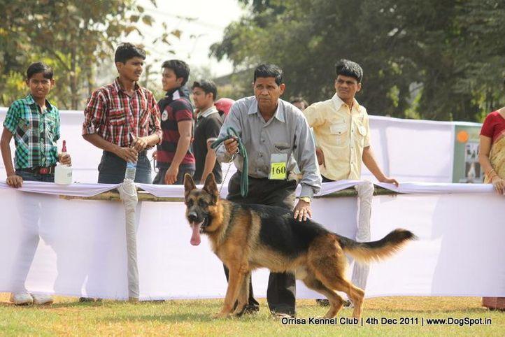 ex-160,gsd,sw-45,, ZAMBO, German Shepherd Dog, DogSpot.in
