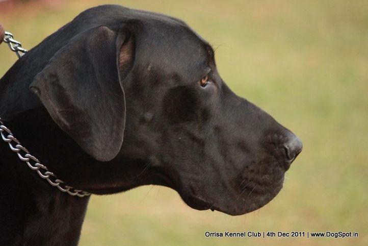greatdane,sw-45,, Orrisa Kennel Club, DogSpot.in