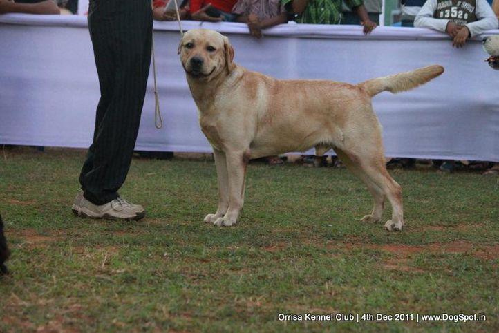 ex-86,lab,sw-45,, ANDO SO CREAMY, Labrador Retriever, DogSpot.in