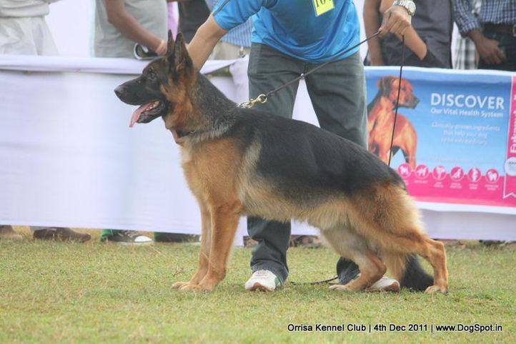 ex-164,gsd,sw-45,, BOS TOPOLOVNICKI, German Shepherd Dog, DogSpot.in