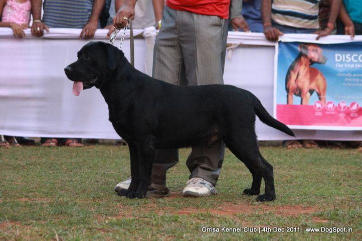 ex-90,lab,sw-45,, CAPRONCA GLAMOUR BOY, Labrador Retriever, DogSpot.in