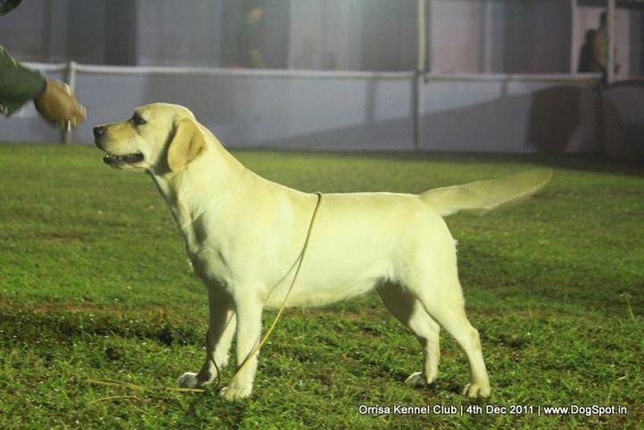 lab,sw-45,, Orrisa Kennel Club, DogSpot.in