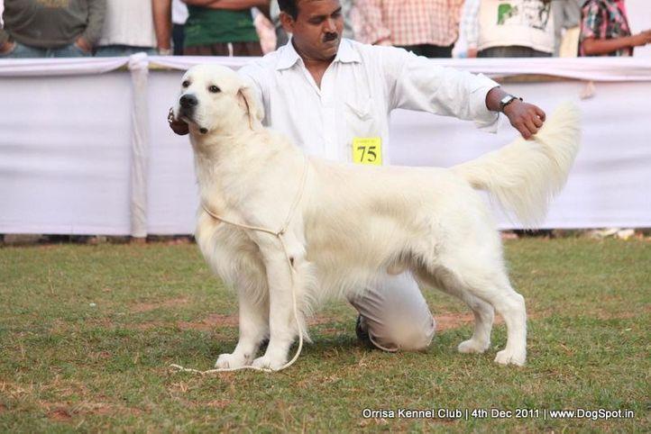 golden,sw-45,, Orrisa Kennel Club, DogSpot.in