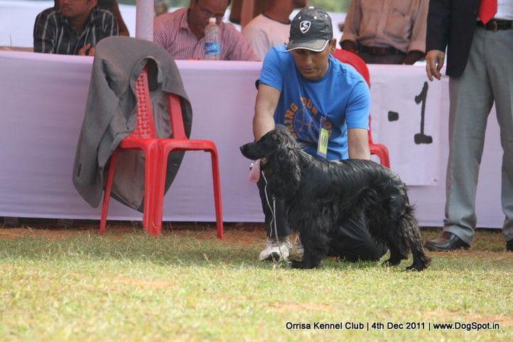 cocker spaniel,sw-45,, Orrisa Kennel Club, DogSpot.in