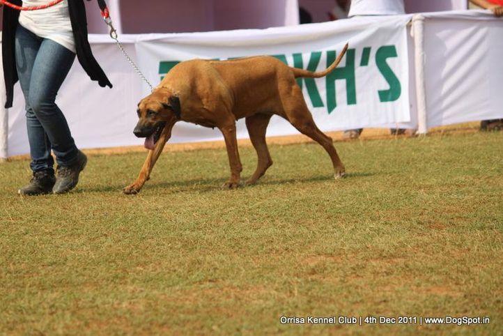rhodesian ridgeback,sw-45,, Orrisa Kennel Club, DogSpot.in