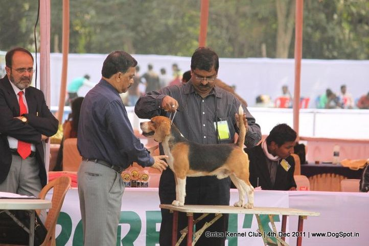 beagle,sw-45,, Orrisa Kennel Club, DogSpot.in