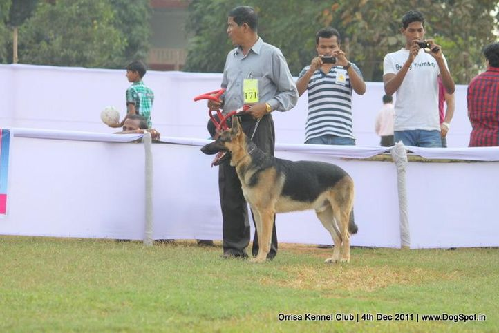 ex-171,gsd,sw-45,, SULTAN SHANU, German Shepherd Dog, DogSpot.in