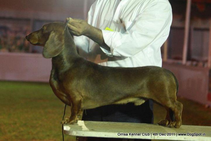 daschund,ex-46,sw-45,, JAMBO, Dachshund Standard- Smooth Haired, DogSpot.in