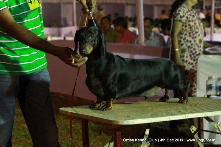 daschund,ex-47,sw-45,, ROCKY, Dachshund Standard- Smooth Haired, DogSpot.in
