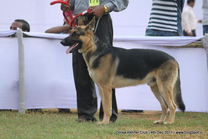 ex-171,gsd,sw-45,, SULTAN SHANU, German Shepherd Dog, DogSpot.in