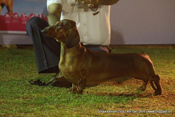 daschund,sw-45,, Orrisa Kennel Club, DogSpot.in