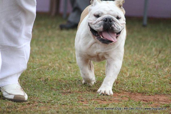 bull dog,ex-25,sw-45,, MAYNERS'S COOL DUDE, Bull Dog, DogSpot.in