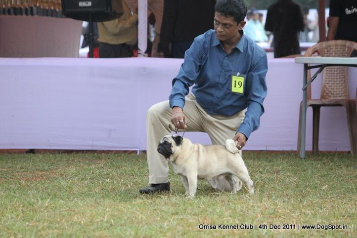 ex-19,pug,sw-45,, CH.IND.CH., PERLINS GO FOR THE GOLD, Pug, DogSpot.in