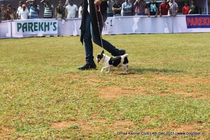 chihuahua,sw-45,, Orrisa Kennel Club, DogSpot.in
