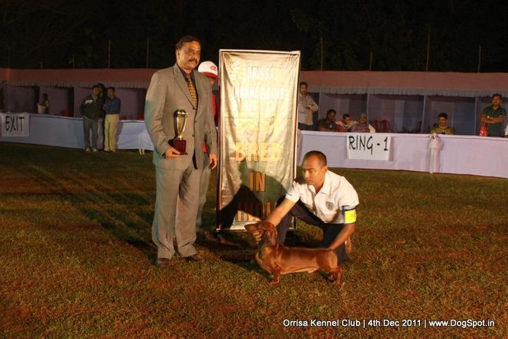 daschund,ex-50,line-up,sw-45,, IND. CH. ZOO ZOO, Dachshund Standard- Smooth Haired, DogSpot.in