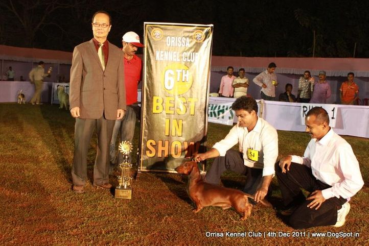 daschund,ex-54,line-up,sw-45,, IND GR CH DEYWOO'S EACBALL, Dachshund Standard- Smooth Haired, DogSpot.in