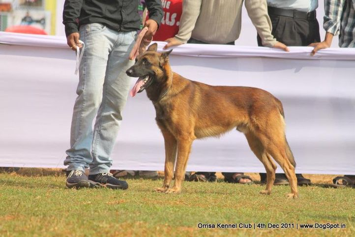 ex-156,malinois,sw-45,, STEALTH PAWS GRASS, Belgian Shepherd Dog (Malinois), DogSpot.in