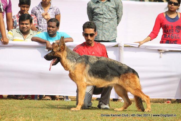 gsd,sw-45,, Orrisa Kennel Club, DogSpot.in