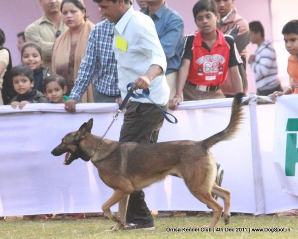 ex-157,malinois,sw-45,, STEALTH PAWS INDICA, Belgian Shepherd Dog (Malinois), DogSpot.in