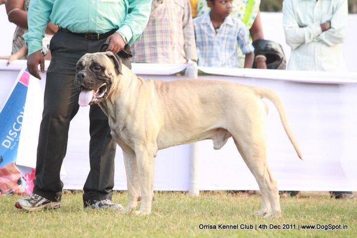 mastiff,sw-45,, Orrisa Kennel Club, DogSpot.in