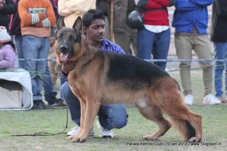 german shepherd,sw-80,, Patiala Dog Show 2013, DogSpot.in
