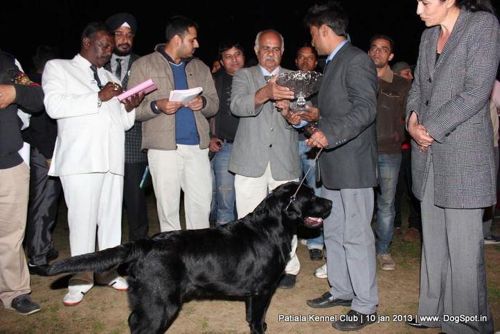 labrador retriever,sw-80,, Patiala Dog Show 2013, DogSpot.in
